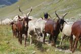Chèvres et moutons en libertés dans les Alpes en France  - 221811867