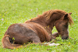A brown horse lies on the green meadow - 221825018