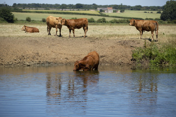 Cows standing on flooded farmland