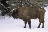 Bison d'Europe, Bison bonasus - 221829453