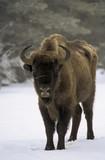 Bison d'Europe, Bison bonasus - 221829454