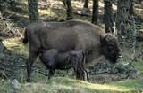 Bison d'Europe, Bison bonasus - 221829455