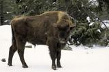 Bison d'Europe, Bison bonasus - 221829456