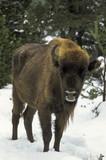 Bison d'Europe, Bison bonasus - 221829458