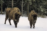 Bison d'Europe, Bison bonasus - 221829459