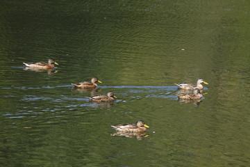 Enten in einem Parkteich schwimmend