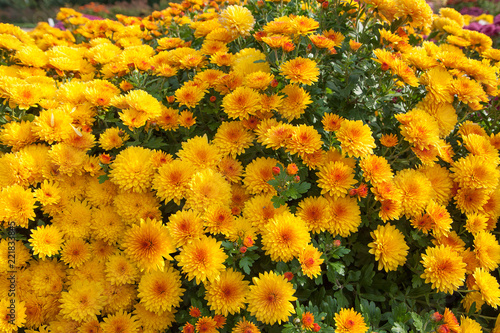 Yellow small chrysanthemum bush. Autumn garden plants. Bright flowers background. Floral field. - 221833845