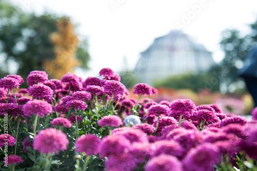 Purpurowy mały chryzantema krzak w ogródzie. W oddali krajobraz z szklarnią. Jesienne rośliny ogrodowe. Kwiatowe pole.