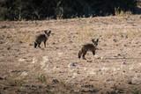 Bat eared fox - 221834619
