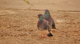 oiseau, pigeon, animal, colombe, nature, faune, bec, empennage, isolé, gris, blanc, sauvage, gris, empennage, oiseau, ailes, yeux, ailes, ville, brun, faisan, gazon, faune, un, mouche - 221835679