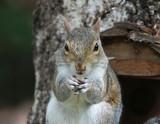 Grey Squirrel - 221837061