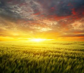 Sunset on the wheat