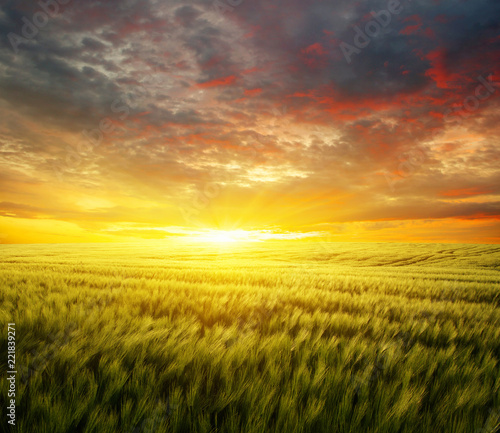 Sunset on the wheat - 221839271