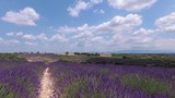 Walking with a video camera through the fields with flowering lavender. Provence. France. Slow motion. - 221839667