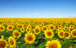 Quadro sunflowers field on sky