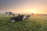 cows relaxed on pasture at sunrise - 221842258