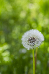 Close up white candelion flower seed ( Taraxacum ) on green grass field i