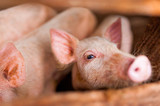 close up of cute pink pig in wooden farm with black eyes looking in camera seen trough wooden fence - 221847081