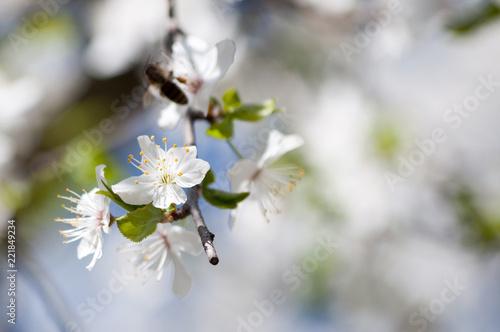 Sticker White wildflower blossoming in spring
