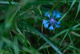 Blue cornflower on a background of green grass
