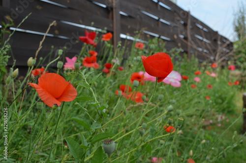 Fototapeta Poppy
