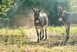 Two mini donkeys in dusty farm pasture during hot summer day.  Livestock in Texas landscape.