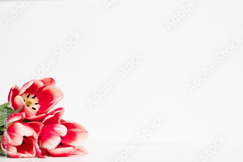 red tulips on white background. flora botany and spring. beautiful flower assortment on mothers or womens day. free space concept.