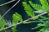 Conifer growing in woods/forest - 221867829
