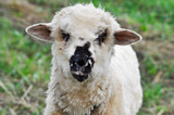 Close-up of sheep, looking at camera while grazing on pasture - 221868252