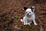 Chihuahua puppy outdoors