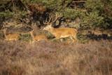 Deer, Red Deer - 221870086