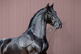 Portrait of black Spanish horse. - 221870655
