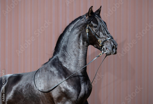 Portrait of black Spanish horse.