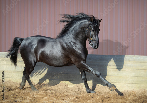 Beautiful black Andalusian horse running in paddock.