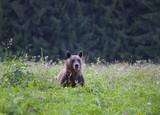 Brown bear - 221884623