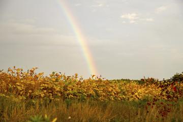 Rainbow over the field. Rainbow close-up. The rainbow in the sky. Rainbow after rain.