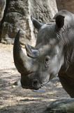 Up Close Look at the Face of a Rhinoceros - 221892052
