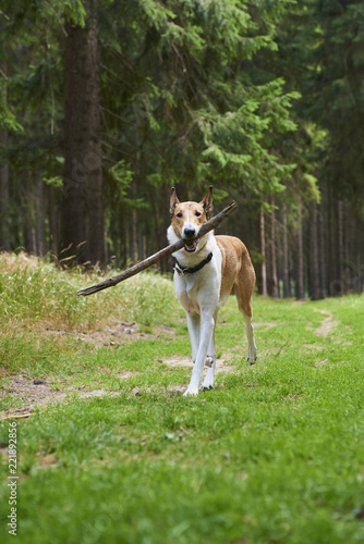 Smooth collie dog playing with stick in forest