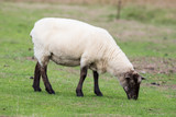 Sheep eating grass in a field - 221893228