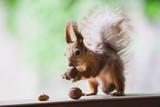 Squirrel sniffs nuts on wooden shelf - 221931255