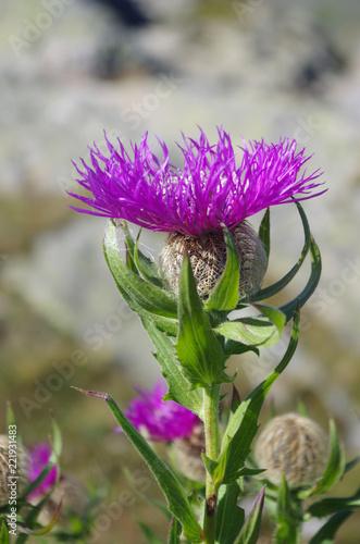 canvas print picture Fleur rose de bleuet en montagne