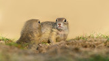 Two ground squirrels in grass with blurry background - 221932633