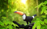 HBeautiful colorful toucan bird - 221933896