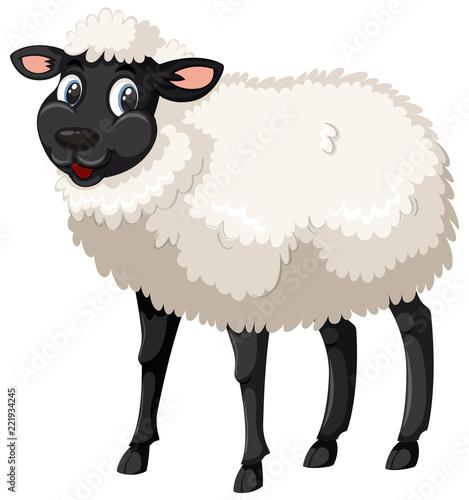 Śliczne czarno-białe owce