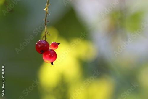 Foto Murales Red currant
