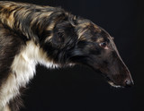 Russian borzoi, Russian hound greyhound Dog Isolated on Black Background in studio