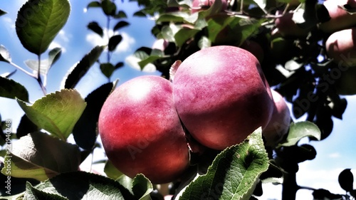 Foto Murales Apples in the fresh air. Natural background for design