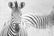 Right angled zebras