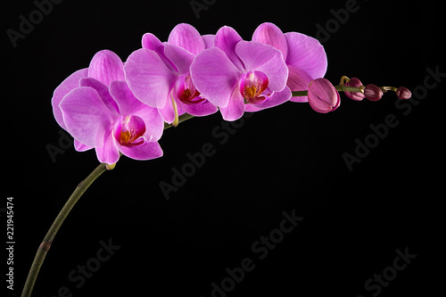 Purple Phalaenopsis orchid flowers on black background. - 221945474