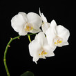 White Phalaenopsis orchid flowers on black background.